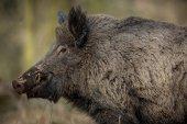 Big wild boar in the european forest