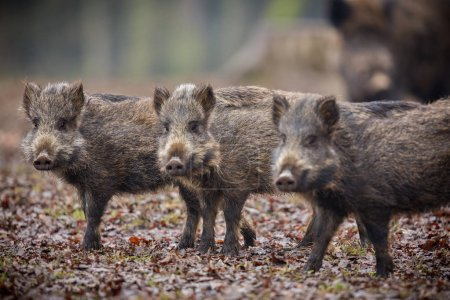 Photo for Wild boar piglet brothers in the european forest, wild animals in the nature habitat, Czech Republic - Royalty Free Image