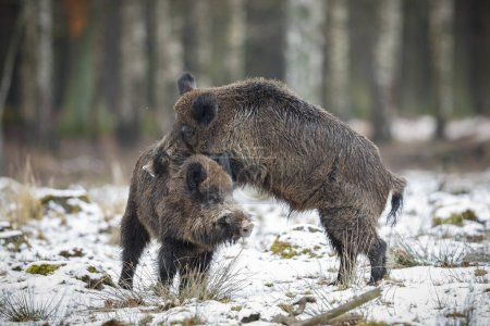 Photo for Two big wild boars, in the european forest, in the nature habitat, Czech Republic - Royalty Free Image