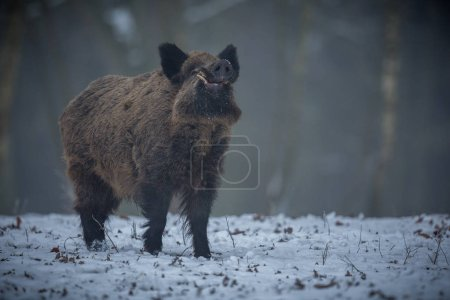 Photo for Big wild boar in the european forest, wild animal in the nature habitat, Czech Republic - Royalty Free Image