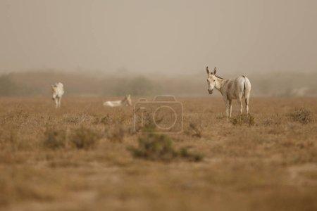 wild donkeys in the desert in India