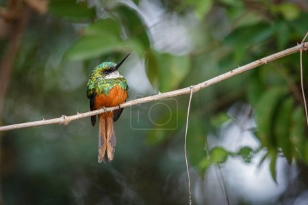 Rufous-tailed Jacamar on a tree in the nature habitat