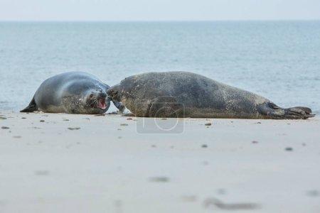 Photo pour Très mignons phoques sur la plage de dune île près de helgoland, océan sauvage, la faune marine, Allemagne, helgoland et dune - image libre de droit