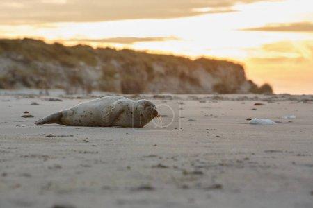 Photo pour Phoque mignon sur la plage de dune île près de helgoland, océan sauvage, la faune marine, Allemagne, helgoland et dune - image libre de droit