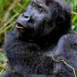 Постер, плакат: Endangered eastern gorilla in the beauty of african jungle