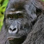 Постер, плакат: Endangered eastern gorilla