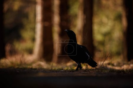 Photo for Very rare wild capercaillie in the nature habitat in european woodland, czech republic wildlife, during mating time - Royalty Free Image