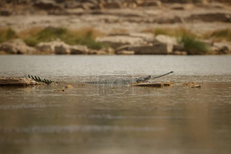 Indian gavial in the nature habitat, chambal river sanctuary, Gavialis gangeticus, very endangered species of indian wildlife, India.