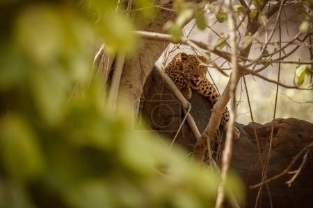 Endangered amur leopard in the nature habitat. Wild animal in captivity.