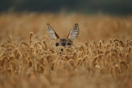 Photo pour Jeune chevreuil fauve sur champ de blé - image libre de droit