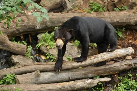 Malayan bear in the nature habitat. Beautiful smaller kind of bears in zoo. Rare animal in captivity. Helarctos malayanus