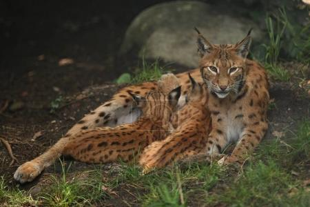 Euroasian lynxes in the bavarian national park in eastern germany, european wild cats, animals in european forests