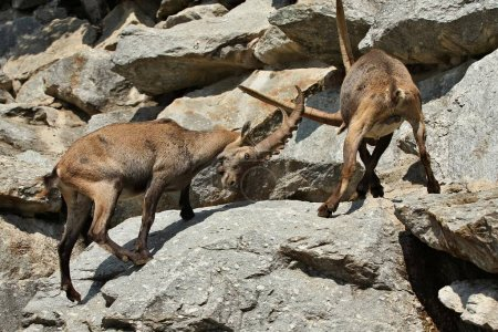 Ibexes fight in the rocky mountain area. Wild animals in captivity. Two males fighting for females