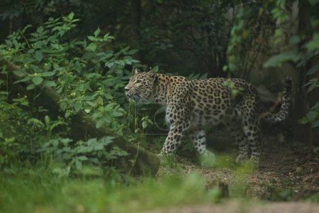 Endangered amur leopard in the nature habitat. Wild animal in captivity.
