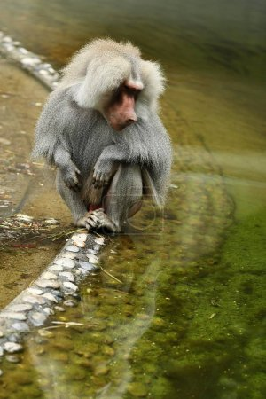 Majestic hamadryas baboon in captivity. Wild monkeys in zoo. Beautiful and also dangereous animals. African wildlife in captivity.