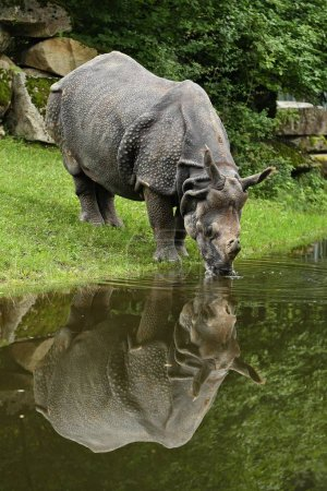 Indian rhinoceros in the beautiful nature looking habitat. One horned rhino. Endangered species. The biggest kind of rhinoceros on the earth