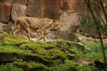 Beautiful endangered lion in captivity