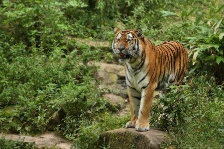 Siberian tiger, Panthera tigris altaica. Beautiful wild animal in captivity.