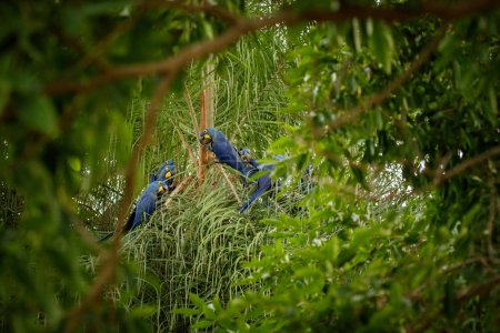hyacinth macaw birds sitting on tree in nature habitat