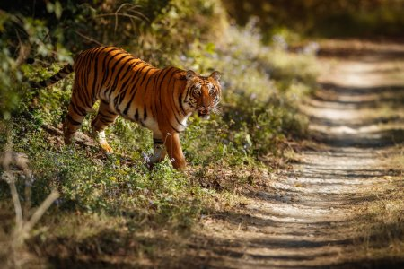 Royal bengal tiger on beautiful golden background