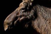 Portrait of Eurasian elk on black background, close up