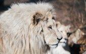 Beautiful albino white lions