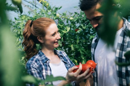Woman and man collect pick up the harvest of tomato in greenhouse farm
