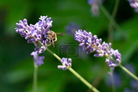 Photo pour Detail of a bee on lavender flower macro - image libre de droit
