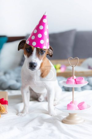 jack russel terrier in Birthday hat