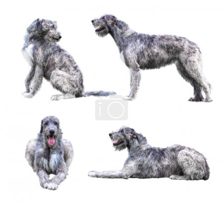 Set of the giant grey dogs isolated on white background