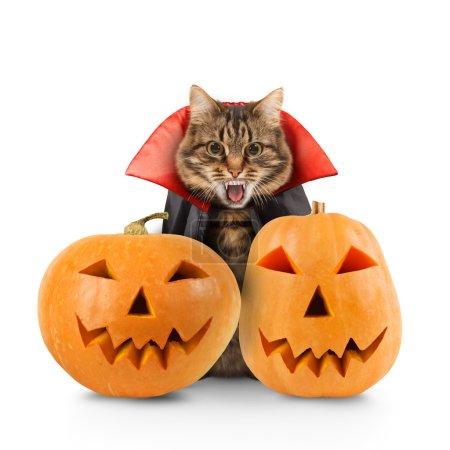 Cat evil with pumpkins