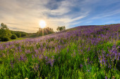 Sunset on a hill covered with lupines.