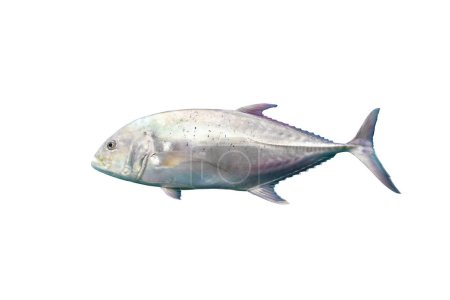 Giant Trevally isolated on white background with c...