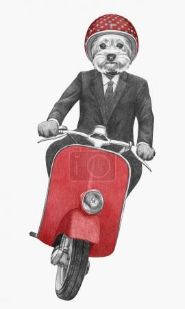 Yorkshire Terrier rides retro scooter