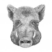 Nice sketch portrait of wild boar, isolated on white