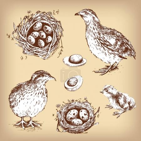 quails, chick, eggs and nests