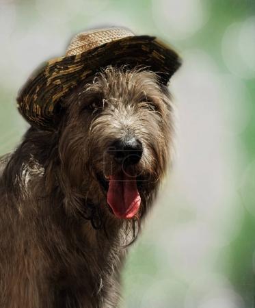 Dog in a hat - portrait of an Irish wolfhound