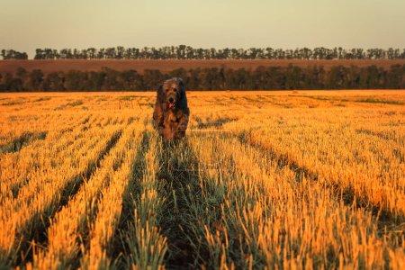 Large gray Irish wolfhound runs along the stubble