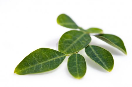 Moringa leaf isolated on white background