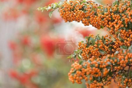 Yellow berries of shrubby pyracanthus