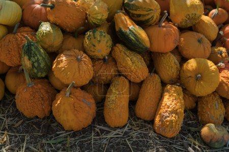 Photo pour Cueillette de citrouilles. Citrouilles dans un automne de correction de citrouille, halloween. - image libre de droit