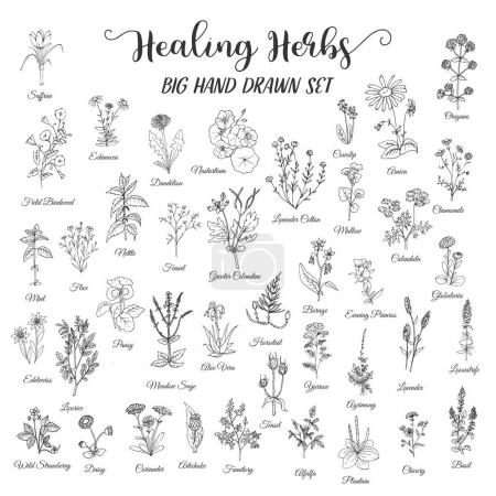 Herbs and Wild Flowers. Hand drawn herbal set of spices, medicinal, cosmetic plants. Black floral vector illustration