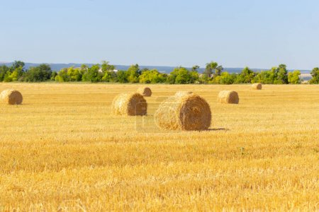 Golden hay bales in countryside. Nature