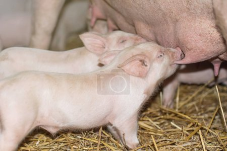 Piglets feeding from mother pig.