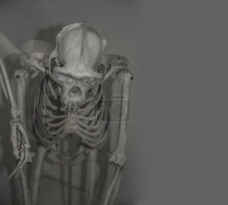 skull of Australopithecus africanus