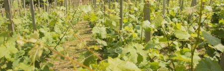 vineyard with sticks as background. spring time season. grape vine rows