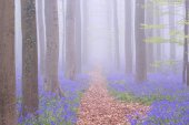 Path through a foggy blooming bluebell forest in Belgium