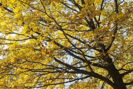 Photo pour Vue de dessous sur une feuilles multicolores sur les arbres de l'automne dans le parc. - image libre de droit