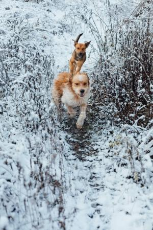 Two dogs running in snowy frost grass