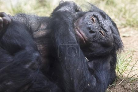 Bonobo Ape laying on a grassy patch of dirt...